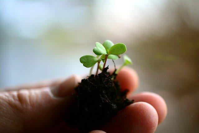 Sazenička rostliny